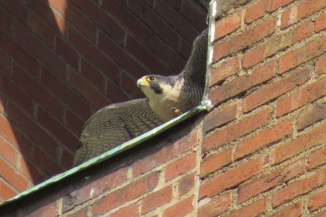 Peregrine at Third Ave nest ledge (photo by Lori Maggio)