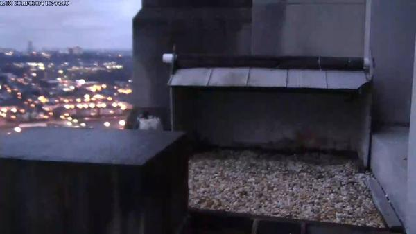 Dori at the nest at dusk, 4 Feb 2018, 17:44 (photo from the National Aviary falconcam at Gulf Tower)