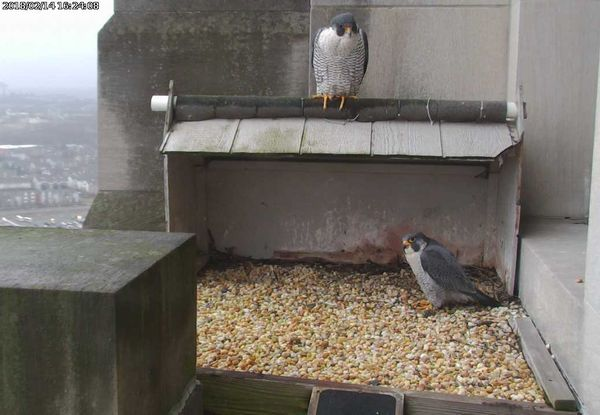 Downtown peregrines visit the Gulf Tower, 14 Feb 2018, 4:24pm (photo from the National Aviary falconcam at Gulf Tower)