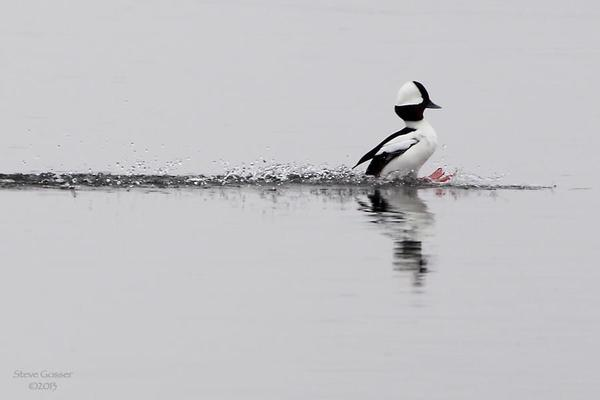 Bufflehead landing, March 2013 (photo by Steve Gosser)