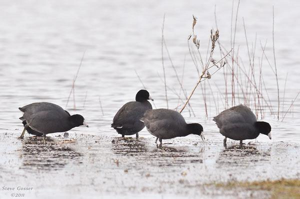 American coots feeding in shallow water, March 2011 (photo by Steve Gosser)