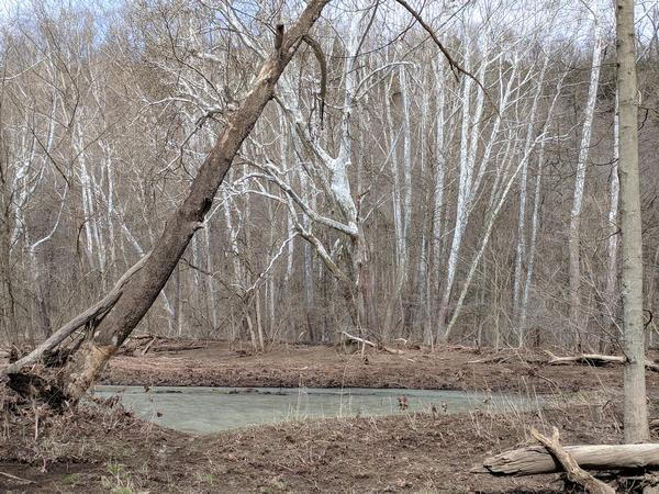 Sycamores on the banks for Raccoon Creek, Beaver County, PA, 28 Feb 2018 (photo by Kate St.John)