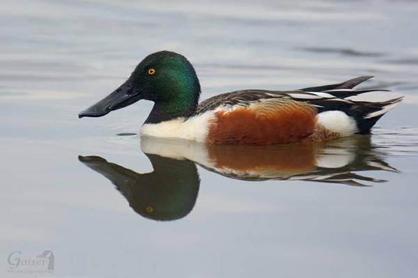 Male northern shoveler, March 2017 (photo by Steve Gosser)