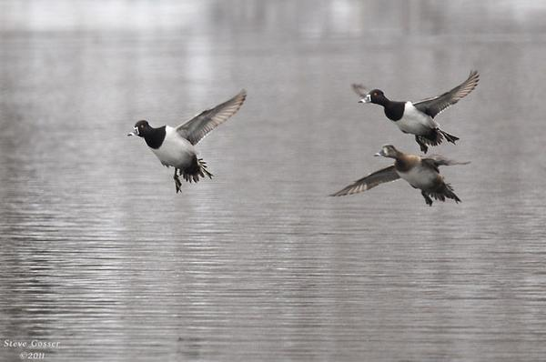 Ring-necked ducks take off, March 2011 (photo by Steve Gosser)