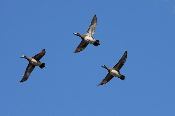 American wigeons in flight (photo from Wikimedia Commons)