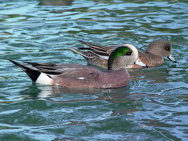 American wigeon pair on the water (photo from Wikimedia Commons)
