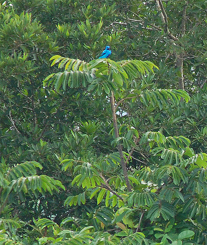 Blue cotinga in its favorite tree (photo by Billtacular via Flickr, Creative Commons license)