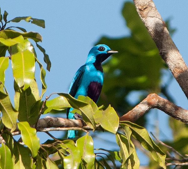 Blue cotinga as seen from the Canopy Tower (photo by Patty McGann via Flickr, Creative Commons license)