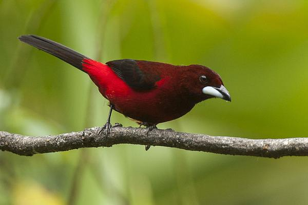 Crimson-backed tanager (photo by Francesco Veronesi via Wikimedia Commons)
