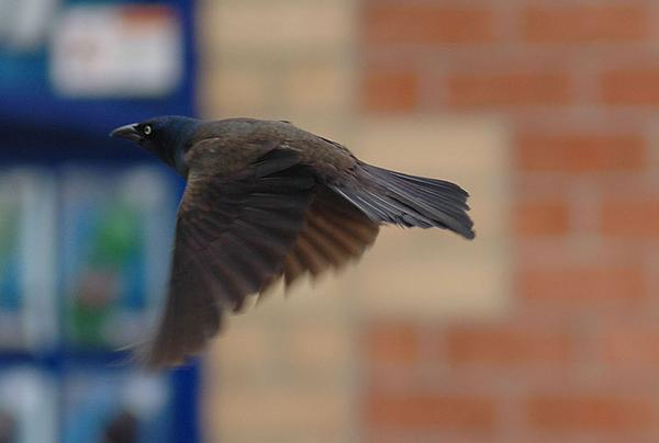 Common grackle in flight (photo from Wikimedia Commons)