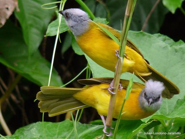 Gray-headed tanagers in Columbia (photo by Julian Londono from Wikimedia Commons)