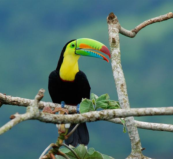Keel-billed toucan in Ancon, Panama (photo by Billtacular on Flickr, Creative Commons license)