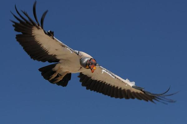 King vulture, flying lower (photo from Wikimedia Commons)