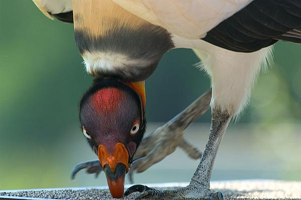 King vulture, pivoting on foot (photo by April M King via Wikimedia Commons)