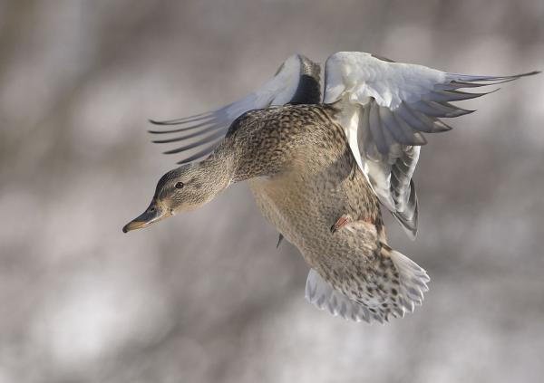 Female mallard coming in for a landing (photo by Bert De Tilly via WIkimedia Commons)