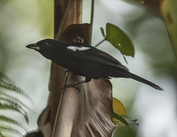 White-shouldered tanager (photo by Francesco Veronesi via Wikimedia Commons)
