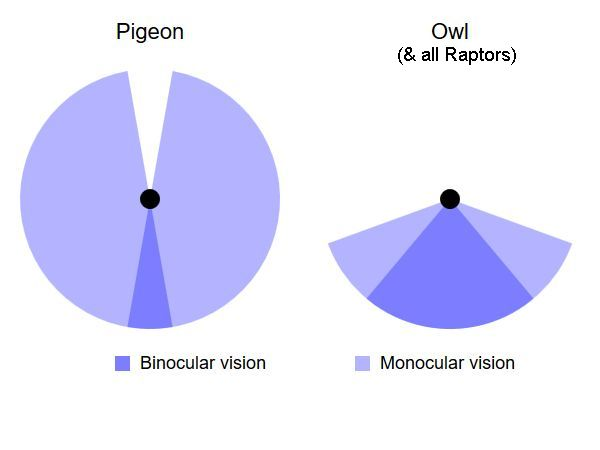 Field of View diagram: pigeon and owl (illustration from Wikimedia Commons)
