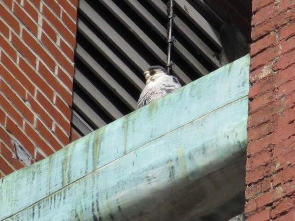 Peregrine above the nest ledge at Third Avenue (photo by Lori Maggio)