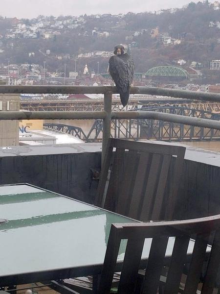 A backward glance: Peregrine on the railing at Lawrence Hall (photo by Maria Ochoa)