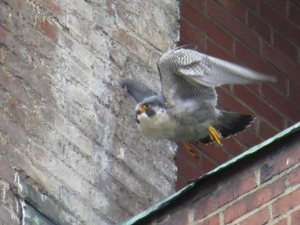 Nest exchange: A peregrine leaves the nest area after the other one arrived, 15 March 2018 (photo by Lori Maggio)