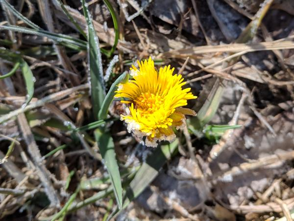 Coltsfoot blooming among the frost, 18 March 2019 (photo by Kate St. John)