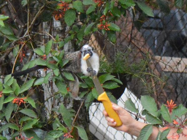 Geoffroy's tamarin grabs fruit off the knife at Cerro Azul, Panama (photo by Donna Foyle)