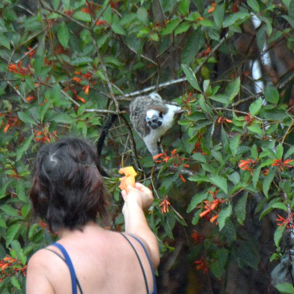 Homeowner feeding backyard monkeys at Cerro Azul, Panama (photo by Donna Foyle)