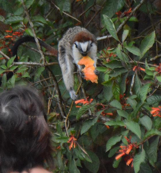 Geoffroy's tamarin eating fruit offered by a homeowner at Cerro Azul, Panama (photo by Donna Foyle)