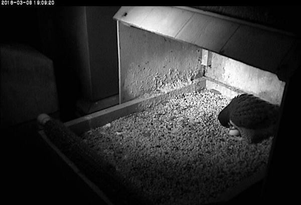 Peregrine falcon,Hope, with her first egg of 2018 (photo from the National Aviary falconcam at Univ of Pittsburgh)