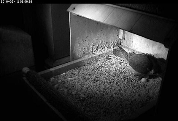 Peregrine falcon Hope lays her 3rd egg of 2018 (photo from the National Aviary snapshot camera at Univ of Pittsburgh)
