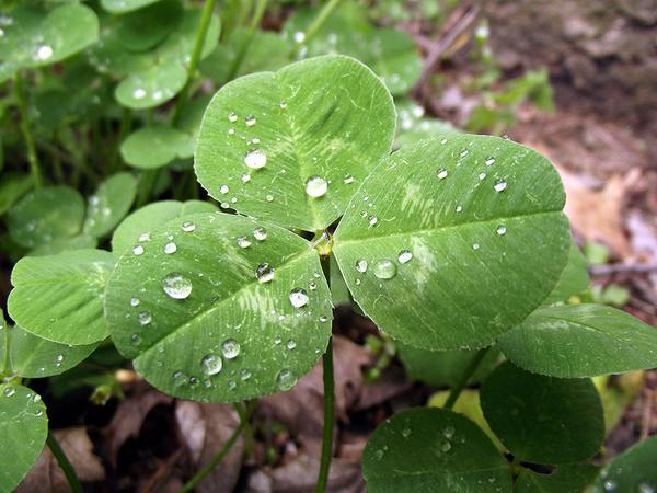 White clover leaf, Trifolium repens (photo from Wikimedia Commons)