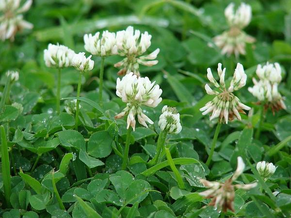 White clover in flower (photo from Wikimedia Commons)