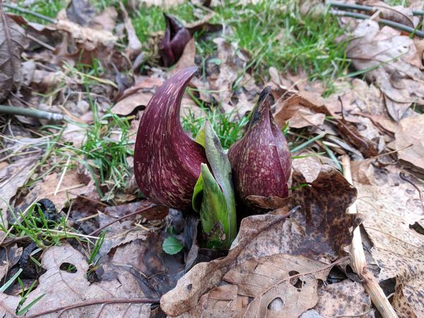 Skunk cabbage at Raccoon Creek State Park, 25 Feb 2018 (photo by Kate St. John)