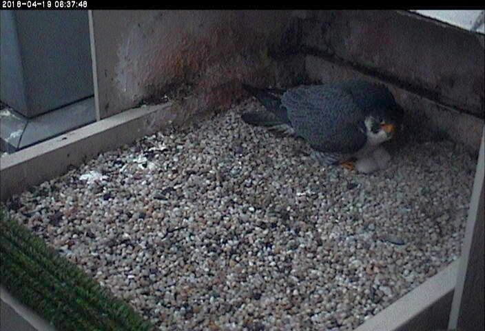 Terzo arrives to brood 2 chicks, 19 April 2018, 6:37a (photo from the National Aviary falconcam at Univ of Pittsburgh)