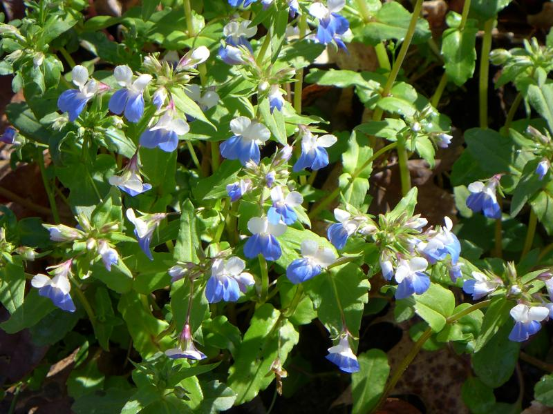 Blue-eyed Mary, Enlow Fork, 26 Apr 2018 (photo by Kate St. John)