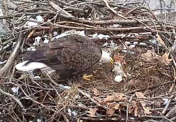 First eaglet of 2018 at the Harmar bald eagle nest (photo from Audubon Society of Western PA)