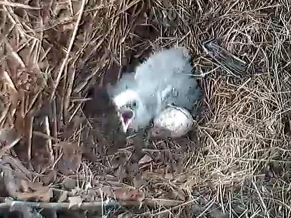 10-day-old eaglet at the Hays bald eagle nest, 2 April 2018 (photo from Audubon Society of Western PA's Pittsburgh Eagles Facebook page)