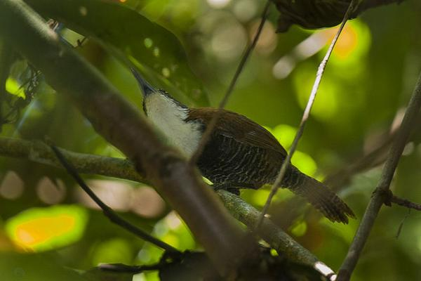 Black-bellied wren, Panama (photo by Fransceso Veronesi from Wikimedia Commons)