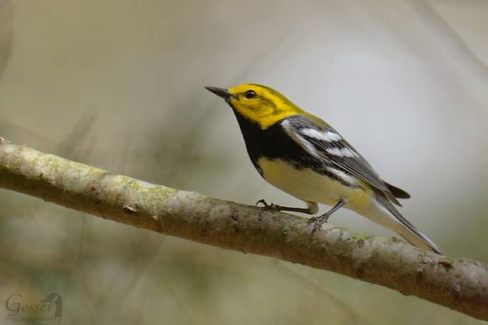 Black-throated green warbler (photo by Steve Gosser)