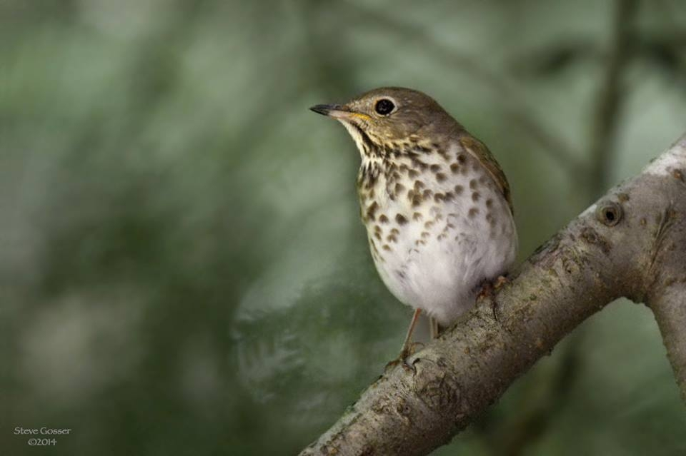 Hermit thrush (photo by Steve Gosser)