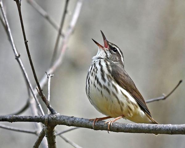 Louisiana waterthrush (photo by Anthony Bruno)