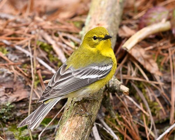 Pine warbler (photo by Anthony Bruno)