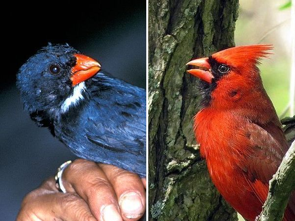 Slate-colored grosbeak, northern cardinal (photos from Wikimedia Commons)