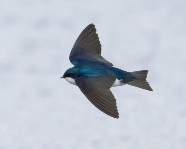 Tree swallow (photo by Don Weiss)