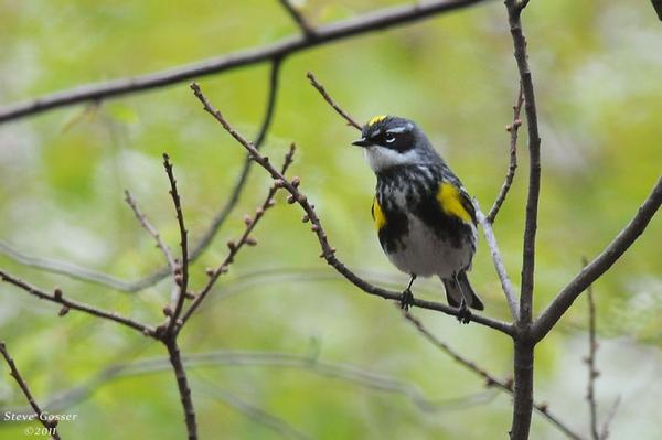 Yellow-rumped warbler (photo by Steve Gosser)