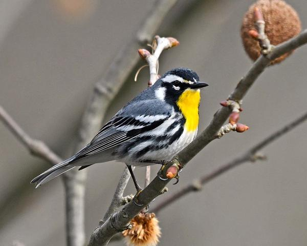Yellow-throated warbler (photo by Anthony Bruno)