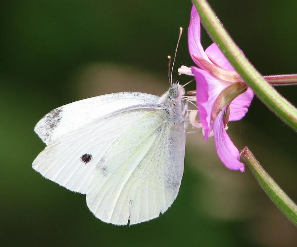 Cabbage white butterfly (photo from Wikimedia Commons)