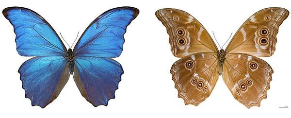 Dorsal and ventral views of museum specimen, Morpho menelaus, Peru (photo from Wikimedia Commons)