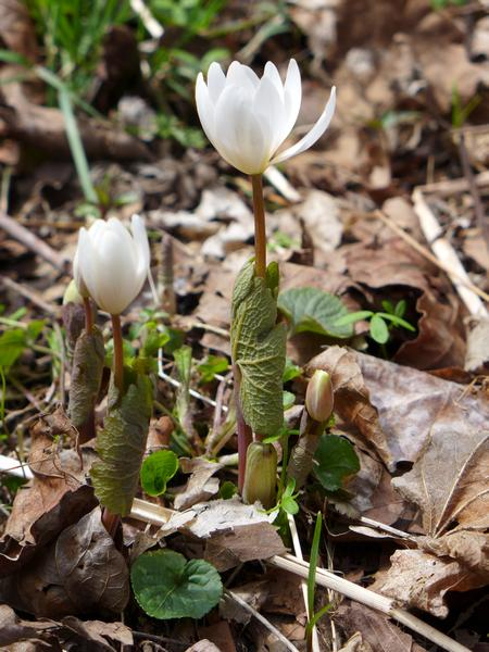 Bloodroot in the chilly morning, 11 April 2018 (photo by Kate St. John)