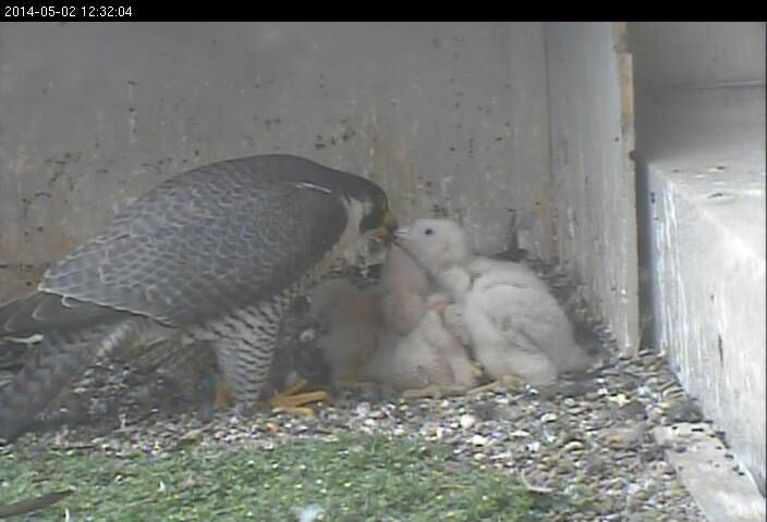 Downtown Pittsburgh peregrine falcon family in 2014 (photo from the National Aviary falconcam at Gulf Tower)